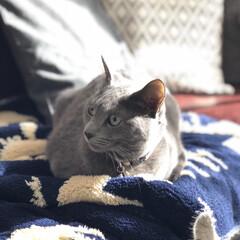猫と暮らすインテリア/猫とインテリア/猫と暮らす/ロシアンブルー/あけおめ/おうち/... 朝日の入るリビングのソファに座っているア…