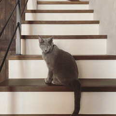 LIMIAペット同好会/にゃんこ同好会/ロシアンブルー/猫と暮らす/猫とインテリア/住まい/... 今朝、階段に佇んで仕事に行く私を見送って…