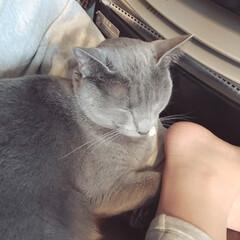 ロシアンブルー/おやすみショット/LIMIAペット同好会/ペット/猫/にゃんこ同好会/... ヒーターの前で温まっていた娘の足の間に入…