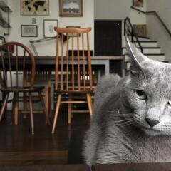 アーコール/アーコールチェア/ロシアンブルー/猫派/LIMIAペット同好会/にゃんこ同好会/... アーコールチェアの写真を撮っていたのに、…