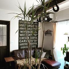 ドラセナコンシンネ/ドラセナ/植物のある暮らし/ボタニカル/観葉植物/住まい/... 観葉植物のドラセナコンシンネの葉っぱがボ…