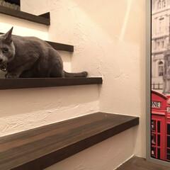 IKEA/うちの子ベストショット/ロシアンブルー/LIMIAペット同好会/にゃんこ同好会/LIMIAインテリア部/... 階段で私を待ち伏せていたアークです。  …