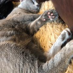 ロシアンブルー/猫と暮らすインテリア/猫と暮らす/猫とインテリア/LIMIAペット同好会/にゃんこ同好会 ぐっすり爆睡中のアークを隠し撮り。笑  …