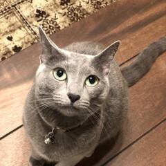 猫と暮らす/猫とインテリア/猫と暮らすインテリア/ロシアンブルー/おうち/ごはん/... 今日のアークです。  主人にちょっかい出…