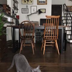 アーコールチェア/アーコール/自然素材の家/無垢材の床/ヴィンテージ/ロシアンブルー/... アーコールチェアを撮っていたら、横切った…