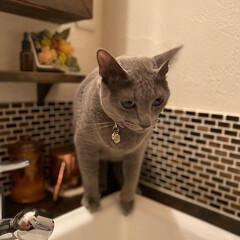 造作洗面台/インテリア/にゃんこ同好会/猫とインテリア/LIMIAペット同好会/猫と暮らす/... さあ!今から水を飲むにゃよー!!  と意…