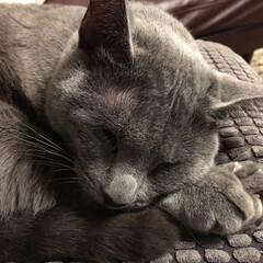 ロシアンブルー/おやすみショット/LIMIAペット同好会/猫/にゃんこ同好会/インテリア/... スヤスヤと寝ているアークです。  至近距…