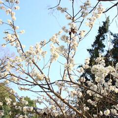 さくら/桜/小さい春 店先の桜の木がひと足早く満開を迎えていま…