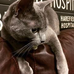 猫あるある/猫とインテリア/猫と暮らすインテリア/猫と暮らす/ロシアンブルー/LIMIAペット同好会/... 今日もお気に入りのソファの背もたれの上に…