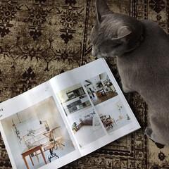 猫あるある/ベルギーラグ/猫と暮らす/猫と暮らすインテリア/猫とインテリア/ロシアンブルー/... 雑誌を見ていると、必ずやって来て本をのぞ…(1枚目)