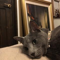 複製画/フェルメール/ロシアンブルー/猫と暮らす/猫とインテリア/ペット/... もう眠たくて仕方がないアークです。  こ…