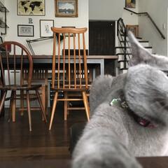 アーコールチェア/アーコール/ロシアンブルー/うちの子ベストショット/猫派/LIMIAペット同好会/... やっぱり撮影を邪魔してくるアークです^^…
