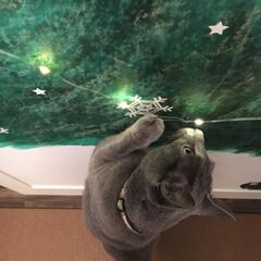 ジュエリーライト/ディスプレイ/ロシアンブルー/猫と暮らす/猫と暮らすインテリア/猫とインテリア/... 和室の押し入れの扉に娘が描いたもみの木に…(3枚目)