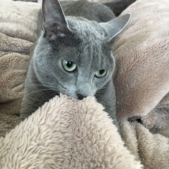 ロシアンブルー/うちの子おやすみショット/おやすみショット/LIMIAペット同好会/にゃんこ同好会 寝る前に毛布をフミフミしているアークです…