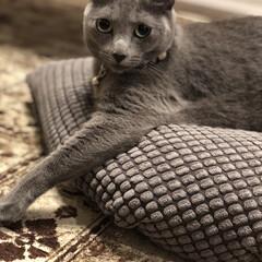 IKEA/ベルギーラグ/猫と暮らすインテリア/猫とインテリア/猫と暮らす/ロシアンブルー/... アークお気に入りのIKEAのグレーのクッ…