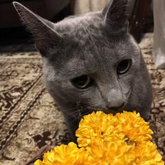 猫あるある/猫と暮らす/ロシアンブルー/猫とインテリア/猫と暮らすインテリア/おうち/... ハンドメイドの資材のアーティフィシャルフ…