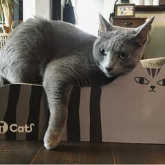 爪とぎ/猫グッズ/ペット用品/猫/ロシアンブルー/ペット 新しい爪とぎダンボールを買ったら、とって…