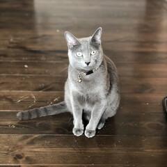 猫あるある/ロシアンブルー/猫と暮らす/猫とインテリア/猫と暮らすインテリア/おうち/... 床の傷がーー!! 三つ指ついてかしこまっ…
