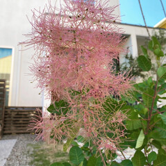 AHEART 室外機カバー 大型 エアコン 逆ルーバー 日よけ ガーデン 収納 木製 SI 422 ダークブラウン(室外機カバー)を使ったクチコミ「今年もスモークツリーの花が咲いて、赤い花…」