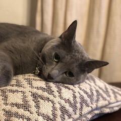 猫と暮らす/猫と暮らすインテリア/猫とインテリア/ロシアンブルー/ペット/猫 毛繕いが済んだら、寝る体勢に入ってるアー…
