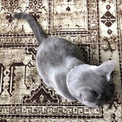 猫と暮らすインテリア/ロシアンブルー/猫と暮らす/猫とインテリア/LIMIAペット同好会/ペット/... 拭くタイプのシャンプーをした後の今朝のア…