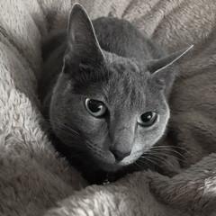 ロシアンブルー/うちの子ベストショット/LIMIAペット同好会/ペット/猫/にゃんこ同好会/... 今朝起きた時のアークです。  夜中寒かっ…