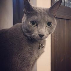 猫とインテリア/猫と暮らす/猫と暮らすインテリア/ロシアンブルー/おうち/ペット/... アークの事を、普段はあーちゃん、あっちゃ…