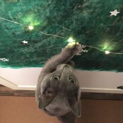 ジュエリーライト/ディスプレイ/ロシアンブルー/猫と暮らす/猫と暮らすインテリア/猫とインテリア/... 和室の押し入れの扉に娘が描いたもみの木に…(2枚目)