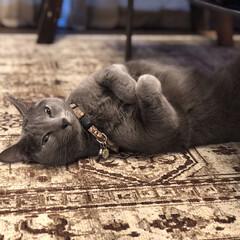 へそ天/ヘソ天/ロシアンブルー/おやすみショット/LIMIAペット同好会/猫/... 夜のリビングでヘソ天で寝っ転がってまどろ…
