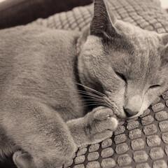 猫あるある/おやすみショット/ロシアンブルー/LIMIAペット同好会/ペット/猫/... IKEAのグレーのお気に入りのクッション…