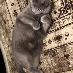 猫と暮らすインテリア/猫とインテリア/ロシアンブルー/猫と暮らす/猫あるある/おうち/... 私の必殺悩殺ポーズ攻撃でそろそろおやつを…