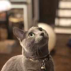 猫と暮らすインテリア/猫とインテリア/ロシアンブルー/猫あるある/おうち/ペット/... 何かを必死で見つめているアークです。  …