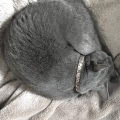 ロシアンブルー/おやすみショット/LIMIAペット同好会/ペット/猫/にゃんこ同好会 今日から息子が新中学一年生で登校だったの…
