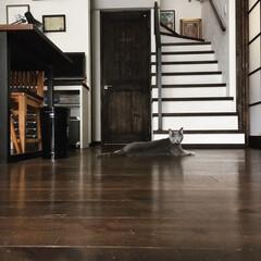 ロシアンブルー/自然素材の家/うちの子ベストショット/猫派/LIMIAペット同好会/にゃんこ同好会/... 床にベタっと寝そべっているアークです。 …