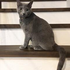 猫と暮らす/猫とインテリア/猫と暮らすインテリア/ロシアンブルー/ペット/猫/... さっきフラッシュ撮影されてしまった写真を…