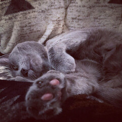 ロシアンブルー/おやすみショット/LIMIAペット同好会/ペット/猫/にゃんこ同好会/... ニトリのコタツ布団の上で爆睡しているアー…
