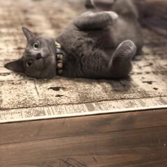 ベルギーラグ/無垢材/自然素材の家/ロシアンブルー/ペット/猫/... 秋になったせいか、最近活発に走り回るアー…