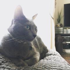 猫と暮らすインテリア/猫と暮らす/猫とインテリア/ロシアンブルー/LIMIAペット同好会/ペット/... ソファの上に置いてあるIKEAのグレーの…