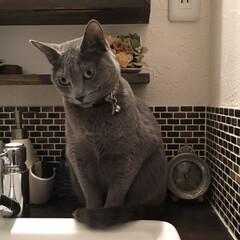 猫あるある/ロシアンブルー/猫と暮らすインテリア/猫と暮らす/猫とインテリア/LIMIAペット同好会/... 水を出して欲しくて、水を出してもらえるチ…