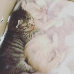ネコのいる生活/ネコちゃん/ペット たまにケンカもするけどね😅 仲良しきょう…