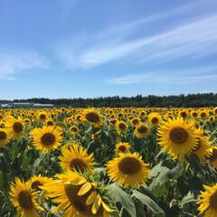 フォトコンテスト参加/帰省/秋田名物/ババヘラアイス/ひまわり畑/夏の思い出 帰省中、ひまわり畑に行って来ました。 青…