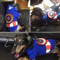 ペット/犬/ドックウェア/ミニチュアダックス/マーベル/キャプテンアメリカ 我が家のダックスのハイジくん。 この服を…