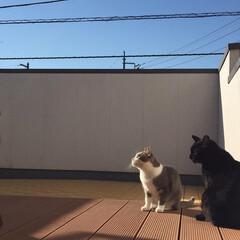 空/クータ/ベランダ/ペット/猫/にゃんこ同好会/... 広めのベランダで 日向ぼっこを楽しむ我が…