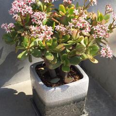 玄関アプローチ/観葉植物のある暮らし/観葉植物/インテリア/住まい/小さい春 玄関先に置いているグリーン。 「金のなる…(1枚目)