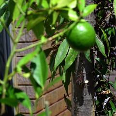 家庭菜園/苗木/レモン レモンの苗木を探していて 今日ようやく見…