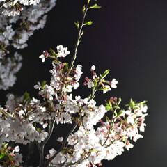 公園/夜桜/桜 我が家の近くの公園の桜です  まだまだ美…