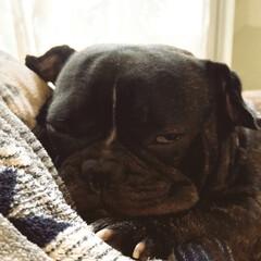 フレンチブルドッグ/愛犬/フォロー大歓迎 こんばんは^ ^ 我が家の愛犬BOSSで…