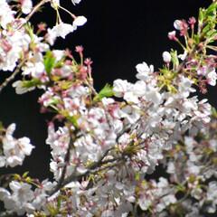 公園/夜桜/桜 我が家の近くの公園の桜です  まだまだ美…(2枚目)