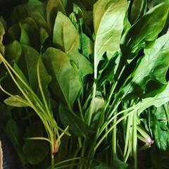ほうれん草/vegegg/至福のひととき こんなに沢山の無農薬ほうれん草を無償でっ…
