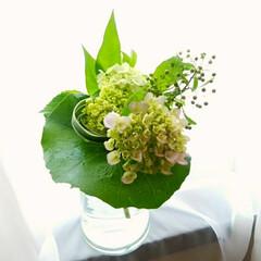 ツワブキの葉/グリーン系/紫陽花/梅雨/アレンジ/花 紫陽花祭りに再び…